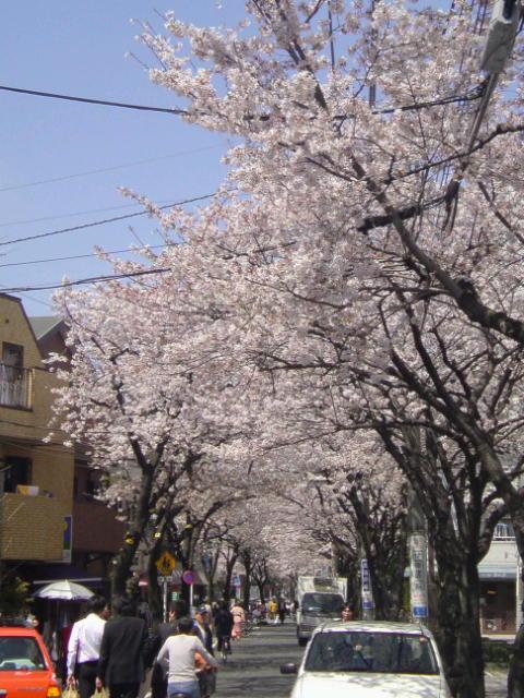 今年の桜は。