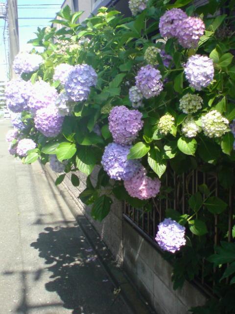 君は紫陽花より美しい。